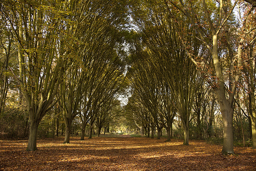 Bushy Park Trees